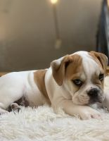 Old English Bulldog Puppies for sale in Bridgeport, CT, USA. price: NA