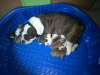 Old English Bulldog Puppies for sale in Palmer, TN 37365, USA. price: NA