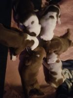 Old English Bulldog Puppies for sale in Germantown, NY 12526, USA. price: NA