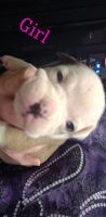 Old English Bulldog Puppies for sale in 14997 S Eagle Valley Rd, Tyrone, PA 16686, USA. price: NA