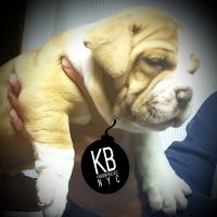 Old English Bulldog Puppies for sale in Bay Shore, NY, USA. price: NA