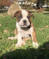 Old English Bulldog Puppies for sale in Ponca City, OK, USA. price: NA