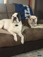 Old English Bulldog Puppies for sale in Frewsburg, NY 14738, USA. price: NA