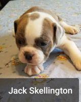 Old English Bulldog Puppies Photos