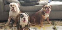 Old English Bulldog Puppies for sale in Burleson, TX, USA. price: NA