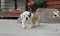Old English Bulldog Puppies for sale in 114-34 121st St, Jamaica, NY 11420, USA. price: NA
