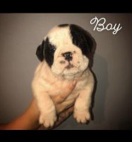Old English Bulldog Puppies for sale in Orlando, FL, USA. price: NA