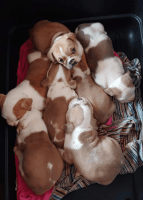 Old English Bulldog Puppies for sale in Redding, CA 96002, USA. price: NA