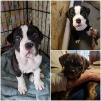 Old English Bulldog Puppies for sale in Spokane Valley, WA, USA. price: NA
