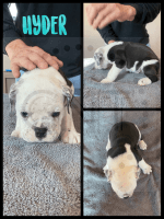 Old English Bulldog Puppies for sale in Council Bluffs, IA, USA. price: NA