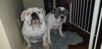 Old English Bulldog Puppies for sale in Round Rock, TX, USA. price: NA