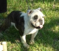 Old English Bulldog Puppies for sale in Rosenberg, TX, USA. price: NA
