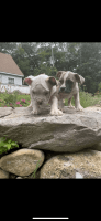 Old English Bulldog Puppies for sale in Mansfield Center, CT 06235, USA. price: NA