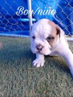 Old English Bulldog Puppies for sale in Franktown, CO 80116, USA. price: NA