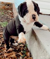 Old English Bulldog Puppies for sale in Athens, AL, USA. price: NA