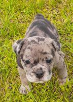Old English Bulldog Puppies for sale in Dothan, AL, USA. price: NA