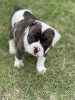 Old English Bulldog Puppies for sale in Yukon, OK, USA. price: NA