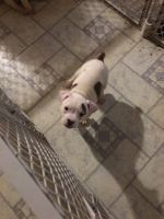 Old English Bulldog Puppies for sale in Topeka, KS, USA. price: NA