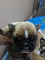 Old English Bulldog Puppies for sale in Hanover Park, IL, USA. price: NA