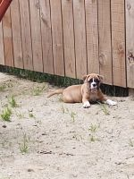 Old English Bulldog Puppies for sale in Brighton, MI 48116, USA. price: NA