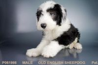Old English Sheepdog Puppies for sale in San Diego, CA, USA. price: NA