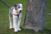 Old English Sheepdog Puppies for sale in Wayne, NJ 07470, USA. price: NA