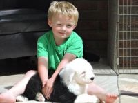 Old English Sheepdog Puppies for sale in Richmond, CA, USA. price: NA