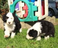 Old English Sheepdog Puppies for sale in Tampa, FL, USA. price: NA