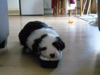 Old English Sheepdog Puppies for sale in Pleasantville, PA 16341, USA. price: NA