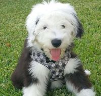 Old English Sheepdog Puppies for sale in Woodbridge Township, NJ, USA. price: NA