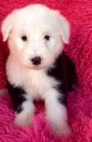 Old English Sheepdog Puppies for sale in Albert City, IA 50510, USA. price: NA