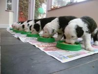 Old English Sheepdog Puppies for sale in Phoenix, AZ, USA. price: NA