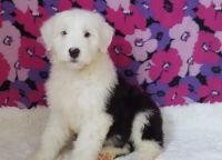 Old English Sheepdog Puppies for sale in Los Angeles, CA, USA. price: NA