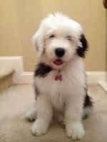 Old English Sheepdog Puppies for sale in Birmingham, AL, USA. price: NA