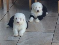 Old English Sheepdog Puppies for sale in Edgerton, WI 53534, USA. price: NA
