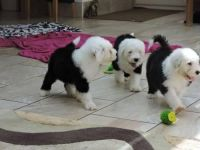 Old English Sheepdog Puppies for sale in Van Nuys, Los Angeles, CA, USA. price: NA