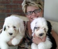 Old English Sheepdog Puppies for sale in St. Petersburg, FL, USA. price: NA