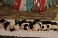 Old English Sheepdog Puppies for sale in Hallock, MN 56728, USA. price: NA