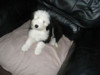 Old English Sheepdog Puppies for sale in Garland City, AR, USA. price: NA