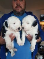 Old English Sheepdog Puppies for sale in California Ave, South Gate, CA 90280, USA. price: NA