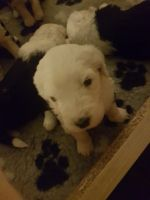 Old English Sheepdog Puppies for sale in New York, IA 50238, USA. price: NA