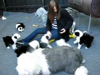 Old English Sheepdog Puppies for sale in 58503 Rd 225, North Fork, CA 93643, USA. price: NA