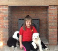 Old English Sheepdog Puppies for sale in Seattle, WA, USA. price: NA