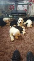 Old English Sheepdog Puppies for sale in St Paul, MN, USA. price: NA