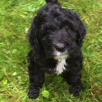 Old English Sheepdog Puppies for sale in Canton, OH, USA. price: NA