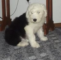 Old English Sheepdog Puppies for sale in Nashville, TN 37246, USA. price: NA