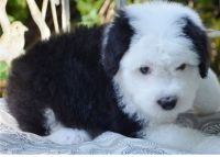 Old English Sheepdog Puppies for sale in Chicago, IL, USA. price: NA