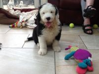 Old English Sheepdog Puppies for sale in NJ-3, Clifton, NJ, USA. price: NA