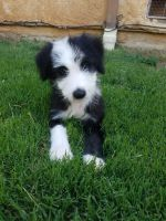 Old English Sheepdog Puppies for sale in Riverside, CA, USA. price: NA