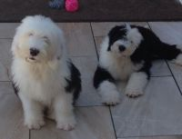 Old English Sheepdog Puppies for sale in Houston, TX, USA. price: NA